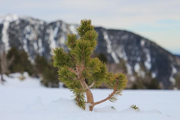 Mała sosna wychodzi z śniegu horyzontalnego. koncepcja przyrody i roślinności