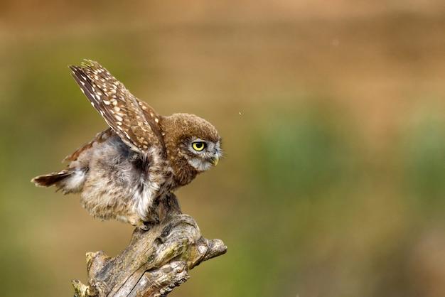 Mała sowa athene noctua siedząca na patyku z rozpostartymi skrzydłami