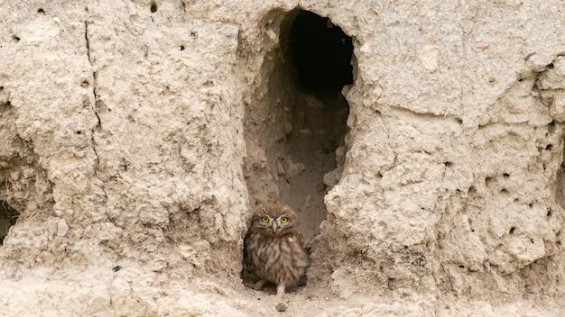 Mała sowa athene noctua, stoi w pobliżu jego nory.
