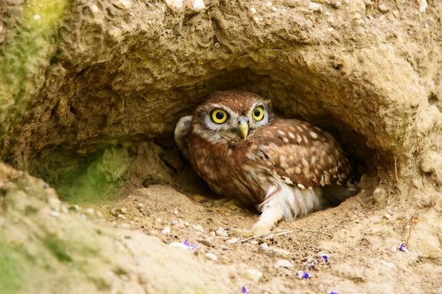Mała sowa athene noctua w dziurze
