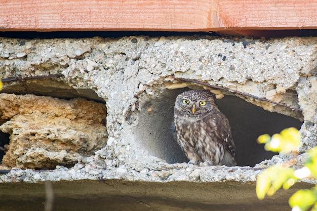 Mała sowa, athene noctua, wygląda przez otwór w betonowej płycie