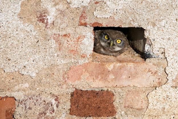 Mała sowa athene noctua wystająca z dziury w murze