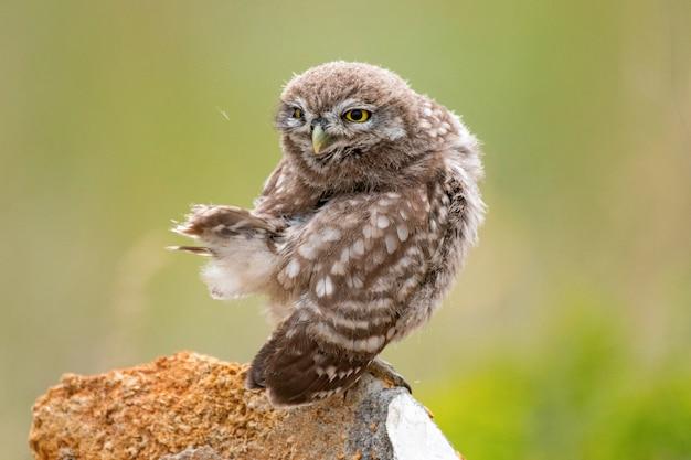 Mała sowa siedzi na kamieniu i preening swoje pióra młody ptak