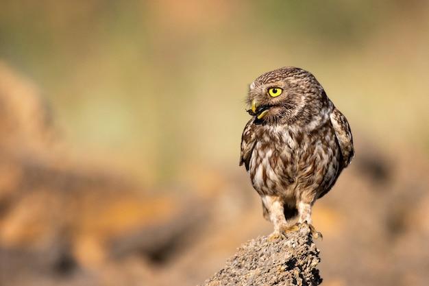 Mała sowa siedzi na kamieniu ze zdobyczem w dziobie