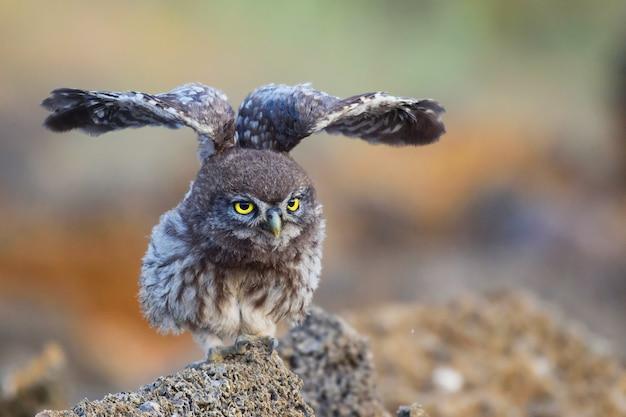 Mała sowa siedzi na skale i rozpościera skrzydła