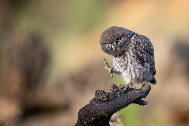 Mała sowa stoi na gałęzi z podniesioną łapą