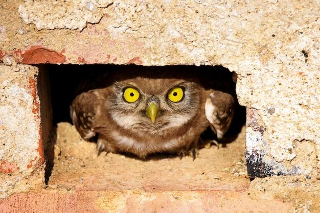 Mała sowa wystająca z dziury w ścianie z cegły