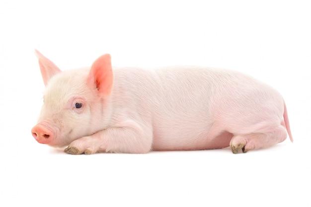 Mała świnia na białym tle