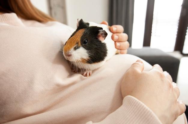 Mała świnka morska siedząca na brzuchu kobiety w ciąży