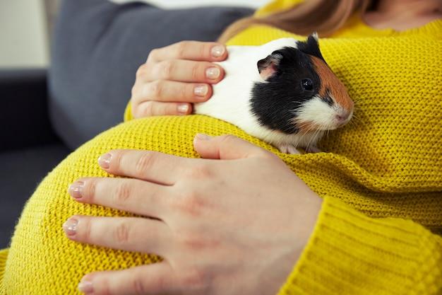 Mała świnka morska siedzi na brzuchu kobiety w ciąży