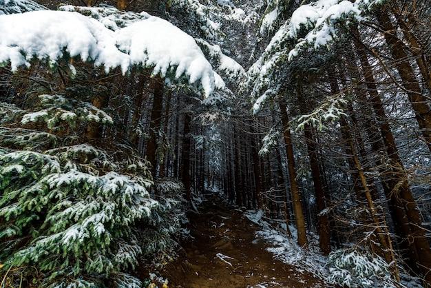 Mała wąska ścieżka wśród wiecznie zielonych drzew pokrytych białym śniegiem w zaśnieżonym gęstym lesie prowadzi do karpat