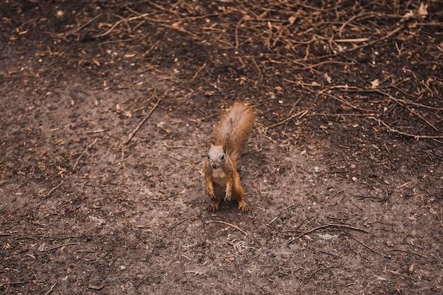 Mała wiewiórka ruda chodzi po nim