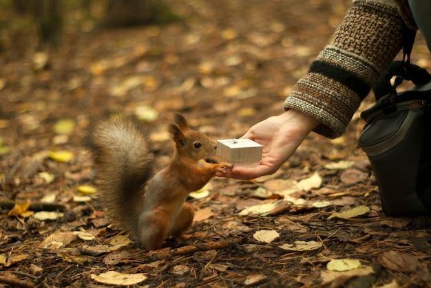 Mała wiewiórka w lesie z ciekawością eksploruje małą świąteczną pudełeczko w kobiecej dłoni