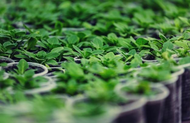 Mała wiosna kiełkować w ogrodzie. koncepcja zielonego życia. tło ekologii i środowiska.