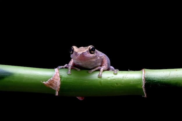 Mała żaba litoria różyczka na czarnym tle australijskie żaby