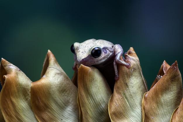 Mała żaba litoria różyczka żaby australijskie