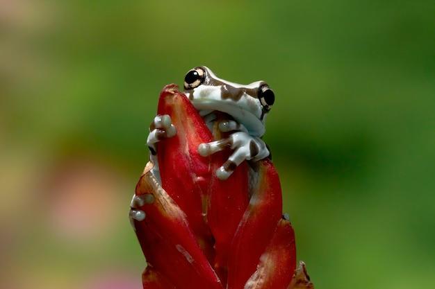 Mała żaba mleczna amazonka na gałęzi