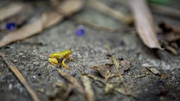 Mała żaba spoczywa na brzegu stawu. azjatycka kijanka taipei hyla chinensis siedzi, po prostu przeobrażona. mała chińska ropucha zielona pozostaje na liściach na tajwanie.