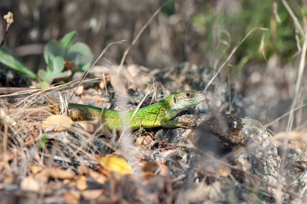 Mała zielona jaszczurka wygrzewa się w słońcu.