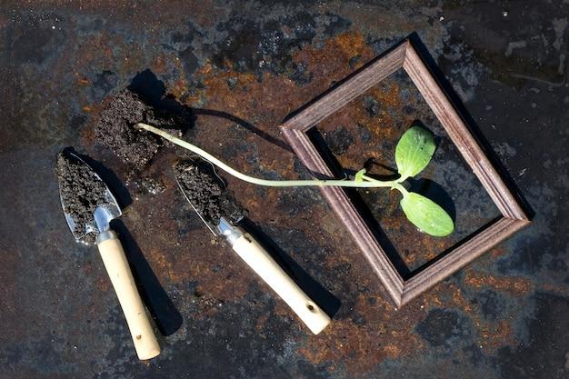Mała zielona sadzonka dyni (cukinia) i stalowa łopata i drewniana rama w plastikowych doniczkach na rustykalnej żelaznej powierzchni