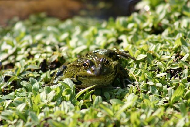 Mała zielona żaba w stawie