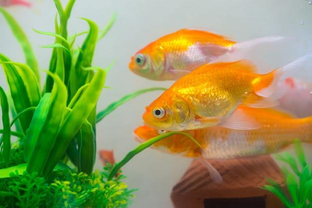 Mała, złota ryba w akwarium lub akwarium