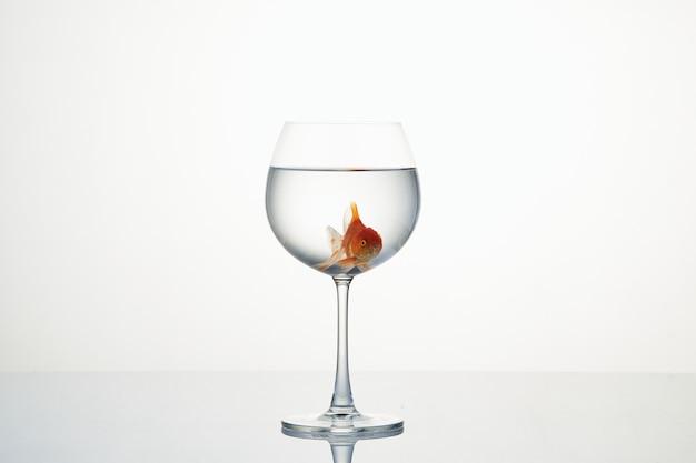Mała złota rybka porusza się w lampce wody