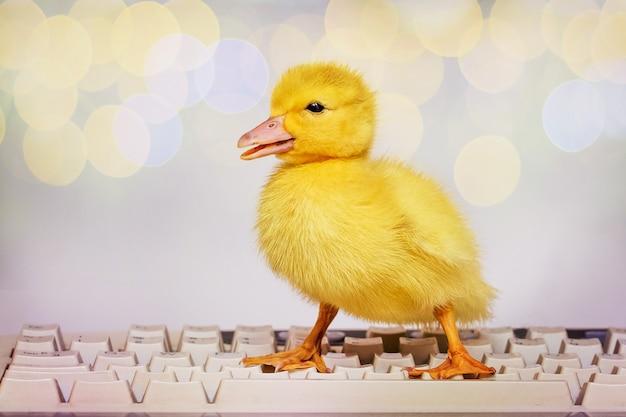 Mała żółta kaczuszka na klawiaturze komputera. praca w biurze przy komputerze_