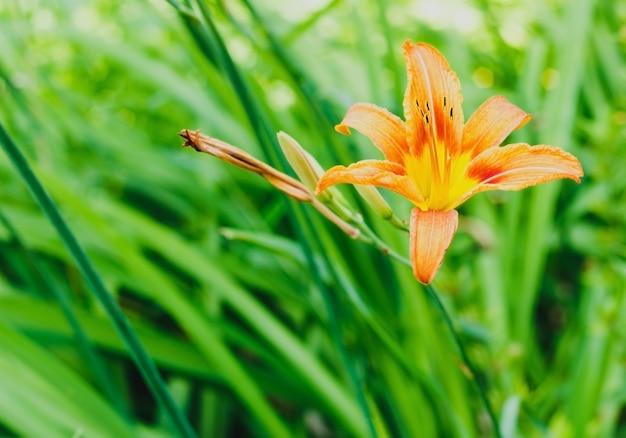 Mała żywa pomarańczowa lilia w ogrodzie w słoneczny letni dzień piękny kwiatowy tło na zewnątrz