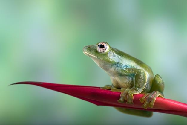 Malajska latająca żaba siedząca na czerwonym kwiecie