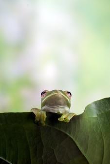 Malajska rzekotka drzewna wisząca na liściu