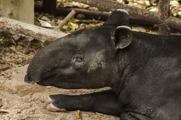 Malajski tapir tapirus indicus leży na ziemi. tapir malajski jest pojedynczym zwierzęciem kopytnym wygląda jak świnia kopyta przypominające nosorożce długi, zaokrąglony nos i usta wystające jak tułów słonia