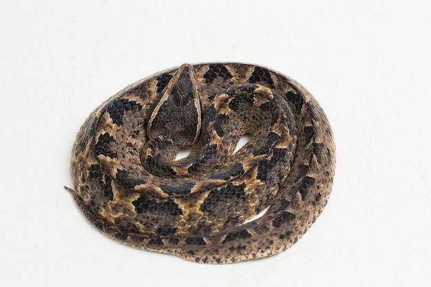 Malajski wąż żmija pit pitnej, rhodostoma calloselasma na białym tle na białej powierzchni