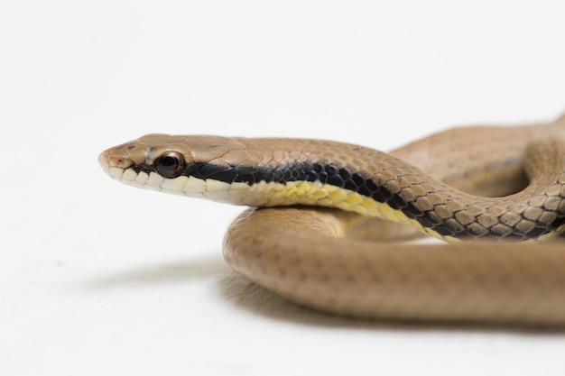 Malayan ringneck snake liopeltis tricolor na białym tle na białej powierzchni