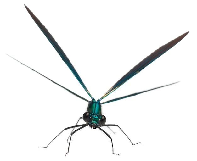 Male banded demoiselle - calopteryx splendens /// jest gatunkiem damselfly