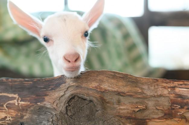 Małe białe kozy stojące w drewnianym schronieniu