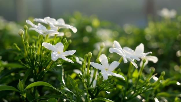 Małe białe kwiaty z zielonymi liśćmi