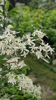 Małe białe pachnące kwiaty powojnika prostego lub powojnika flammula