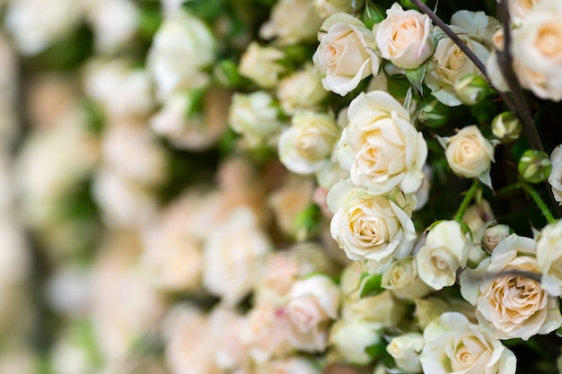Małe białe róże. zamknąć widok