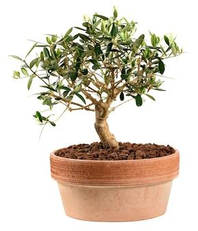 Małe bonsai drzewo oliwne na białym tle