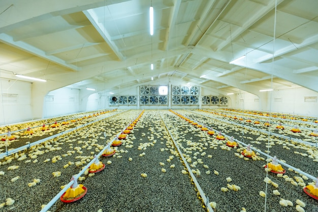 Małe brojlery drobiowe w nowoczesnej fermie drobiu. małe żółte pisklęta w ścisłej kontroli farmy, temperatury i światła.