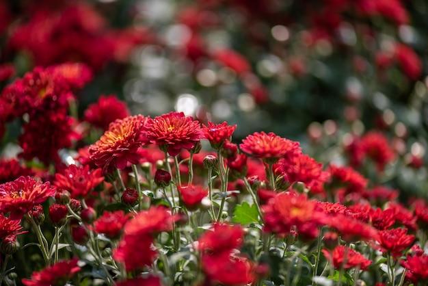 Małe czerwone dzikie chryzantemy w parku