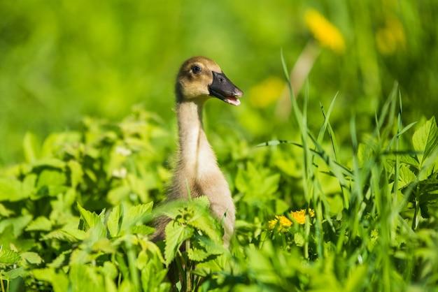Małe domowe kaczątko szare siedzi w zielonej trawie z żółtymi mleczami