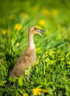 Małe domowe szare kaczątko siedzi w zielonej trawie