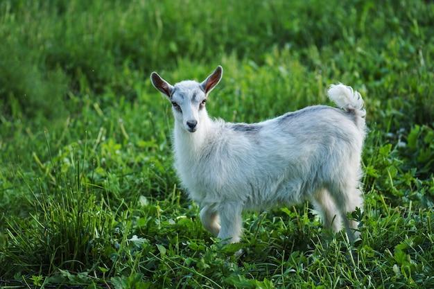 Małe dziecko koza w ciepły wiosenny dzień. kozy z dzieciństwa w gospodarstwie. piękna koza pozowanie
