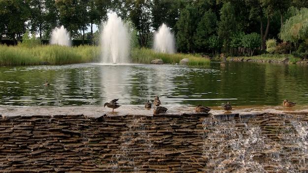 Małe dzikie kaczki w pobliżu wodospadu na tle fontann i drzew