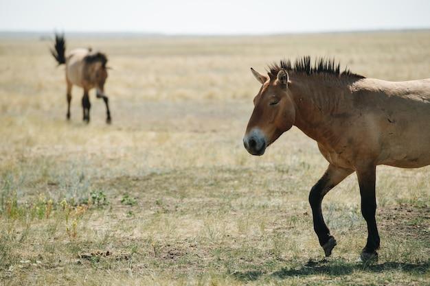 Małe dzikie konie o starożytnym, nieudomowionym rodowodzie pasące się na stepowej równinie. skoncentruj się na jednym mrużąc oczy na pierwszym planie. jeden w oddali jest zamazany.