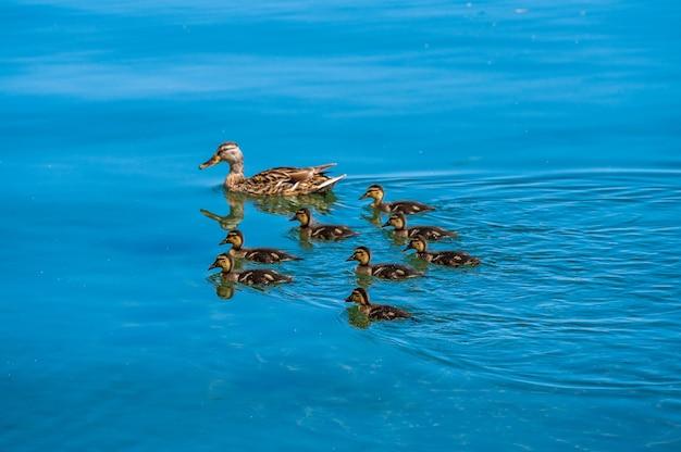 Małe kaczątko i matka na jeziorze