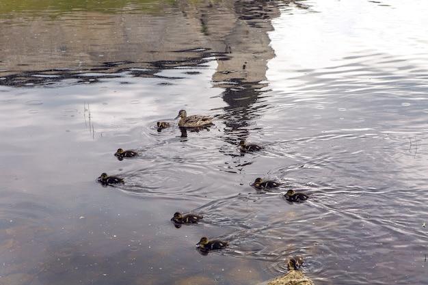 Małe kaczki krzyżówki i kaczki w rzece
