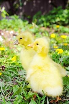 Małe kaczuszki na zielonej trawie. ptaki hodowlane, młode.
